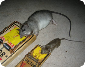 Florida Mice And Rat Removal And Pest Control