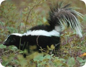 Florida Skunk Removal And Pest Control Orlando Fl